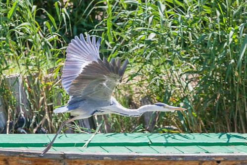 albu-bird